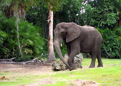 mahout(0.0), animal(1.0), indian elephant(1.0), elephant(1.0), elephants and mammoths(1.0), african elephant(1.0), fauna(1.0), jungle(1.0), safari(1.0), wildlife(1.0),