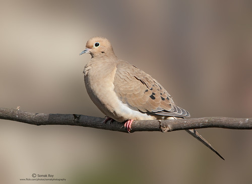 Mourning Dove by Somak..