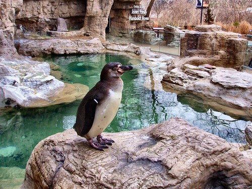 penguin - St Louis Zoo