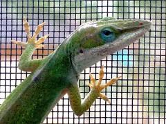 Green anole inside my window