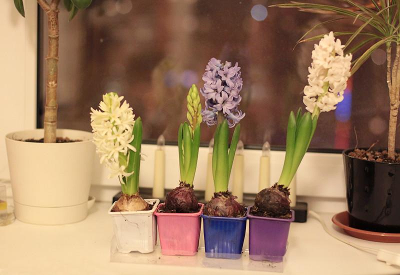 hyacinth 5
