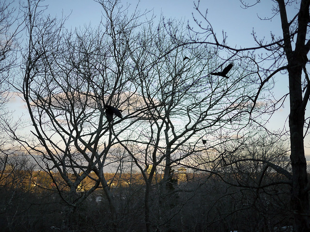 crows from window