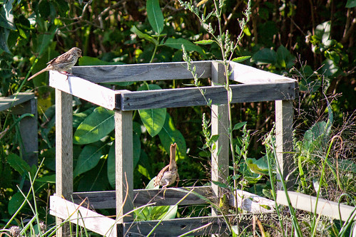 Song Sparrow on Tomato Cage (Melospiza melodia)-5.jpg