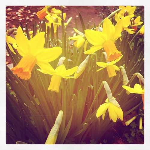 Trumpet yellow, Elan's name for daffodils, on our way to school this am