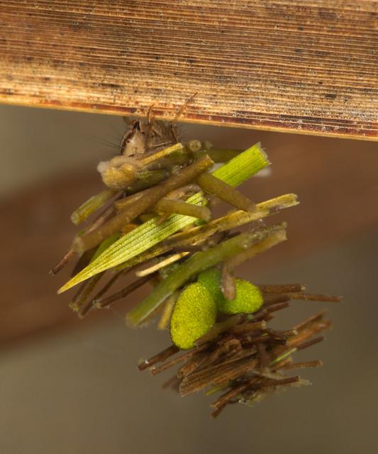 limnephilus caddisfly larva edited