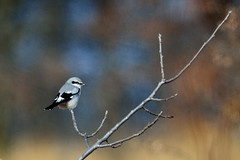 Northern Shrike D7K_6613 by Mully410 * Images