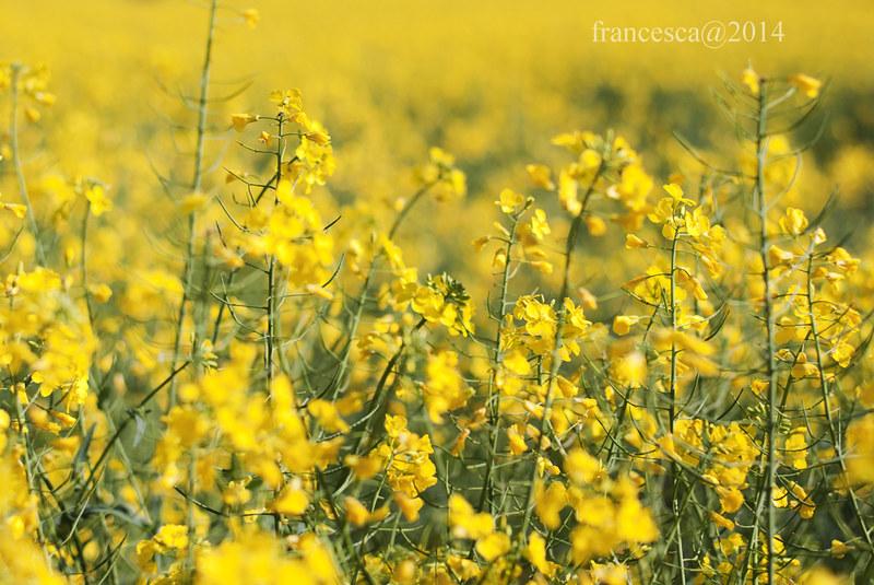 fiori gialli/2