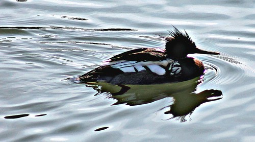 A slippery merganser HSS