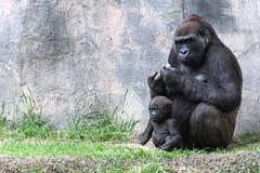Gorilla Mom and Baby Sitting