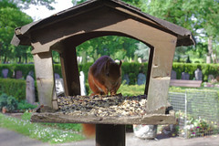 Squirrel restaurant on a graveyard