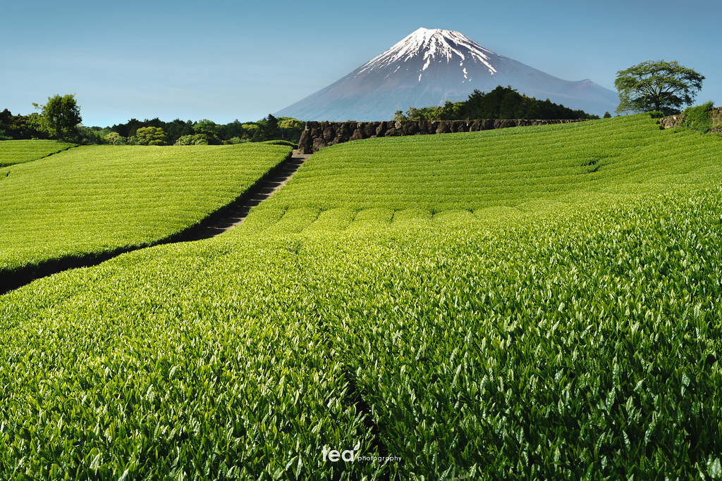 Mt.fuji and tea plantation | SONY α7RII + Sonnar T* FE 55mm F1.8 ZA SEL55F18Z