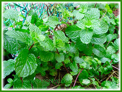 Our Mentha spicata (Garden Mint, Common Mint, Spearmint, English Mint) thriving well, Nov 27 2015