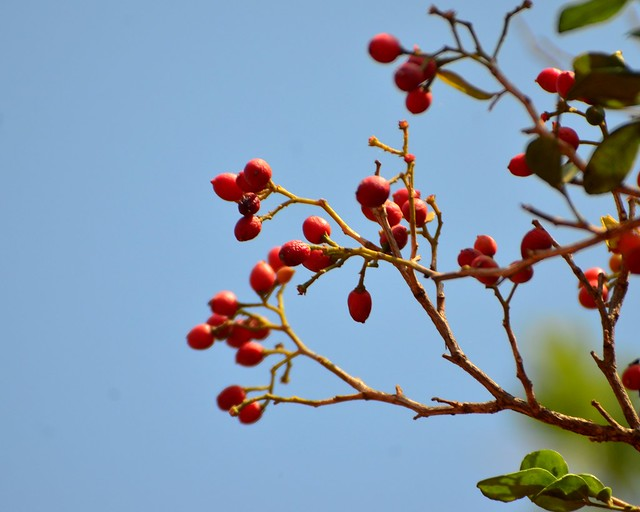 Kunti fruits_Murraya paniculata_Rutaceae_Pherozeshah Mehta_2016-05-06_ (1)