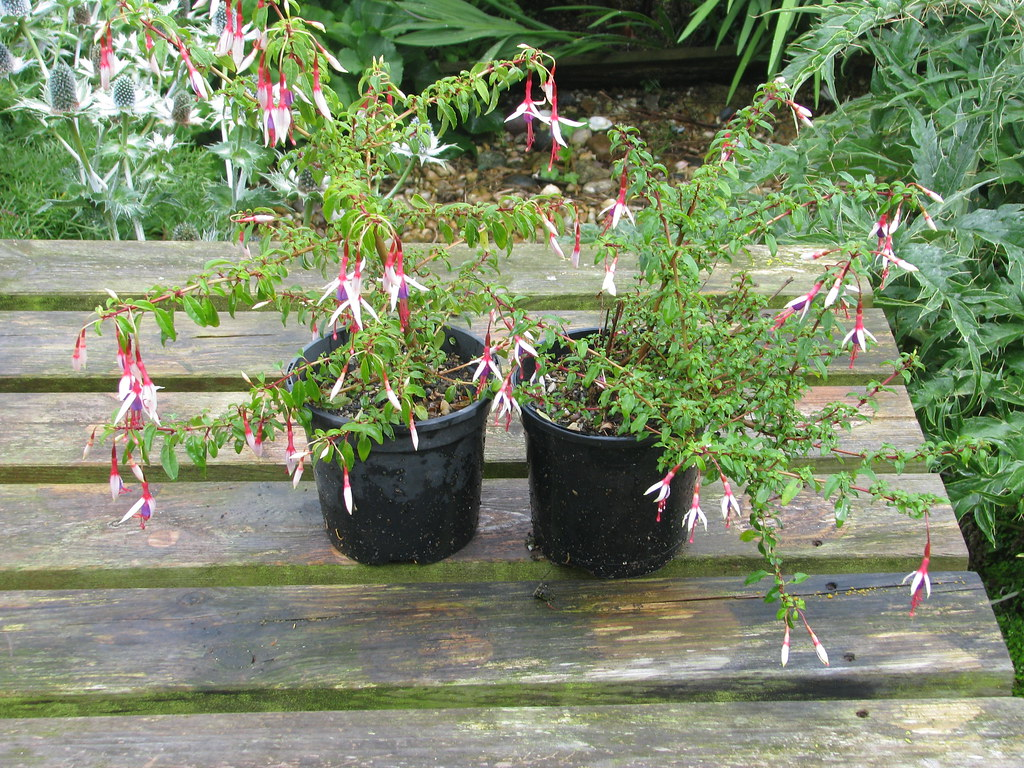 Fuchsia magellanica Lady Bacon, left, and arauco
