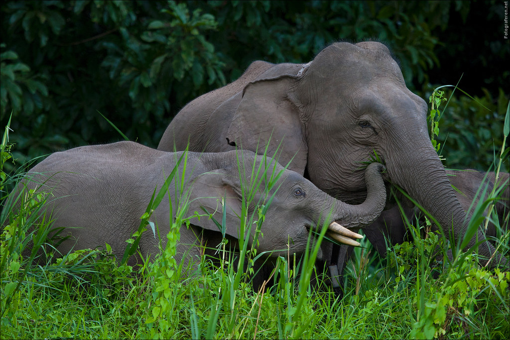 Borneo or pygmee elephants [Elephas maximus borneensis] at Kinabatangan river. Matriarch with juvenile.