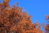 Photo:Bald Cypress / Taxodium distichum / 落羽松(ラクウショウ) By TANAKA Juuyoh (田中十洋)
