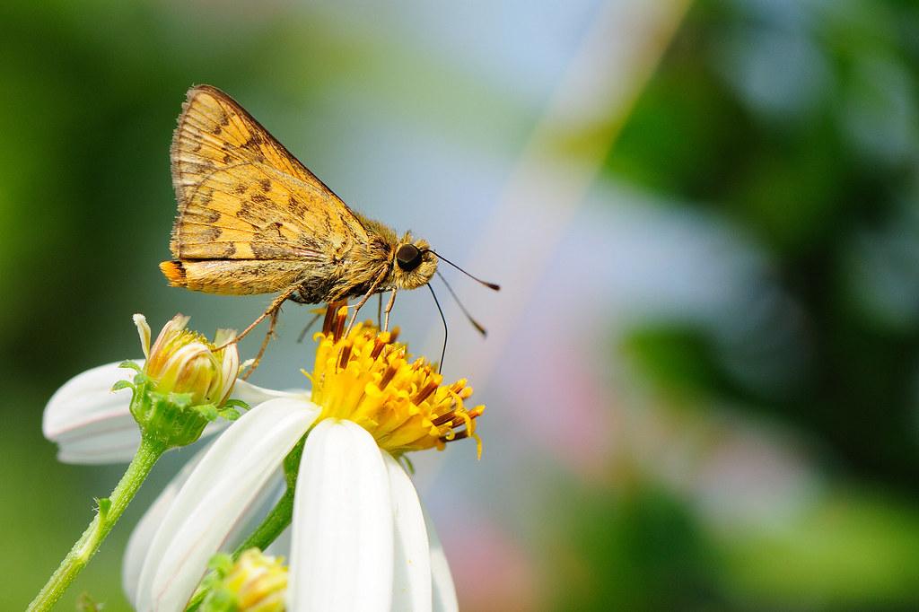 台灣黃斑弄蝶 Potanthus confucius angustatus