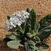 Heliotropium ramosissimum, Fuerteventura (Ken Bailey)