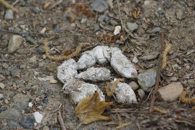 Bobcat poop - photo#16