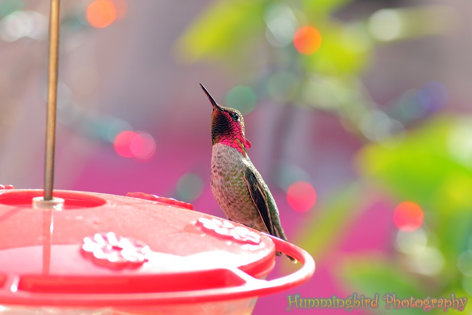 Anna's Hummingbird 120111