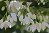 Styrax japonicus 'Snowcone', Japanese Snowbell