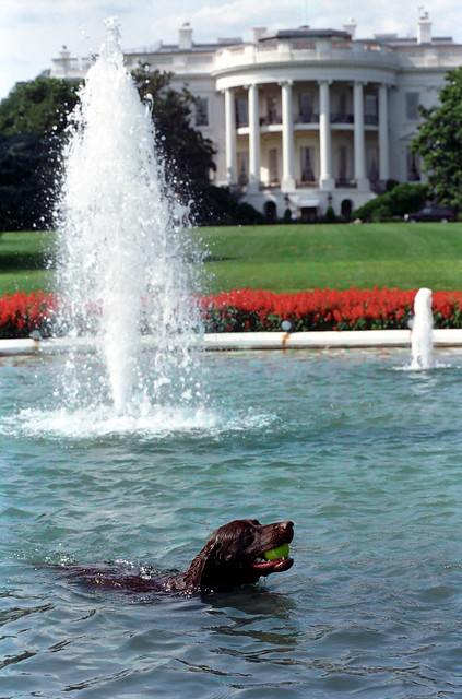 Photograph Of Buddy The Dog In The White House Swimming Pool Retrieving A Tennis Ball 07 12