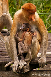 Mother and child proboscis monkey. The female has a smaller upturned snubby nose.