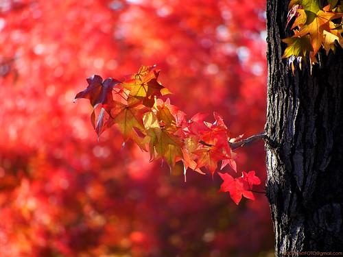 california autumn sunset red orange usa fall leaves catchycolors leaf bokeh fallcolors olympus fallfoliage handheld stockton warmlight sweetgum liquidambar 2011 twtmeiconoftheday epl1 microfourthirdscamera panasoniclumix45200mm nxtrfoto nextierphotography topazlenseffects