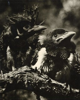 Young magpies, circa 1938