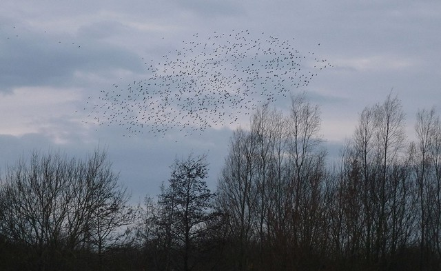25410 - Starlings, Llanelli WWT