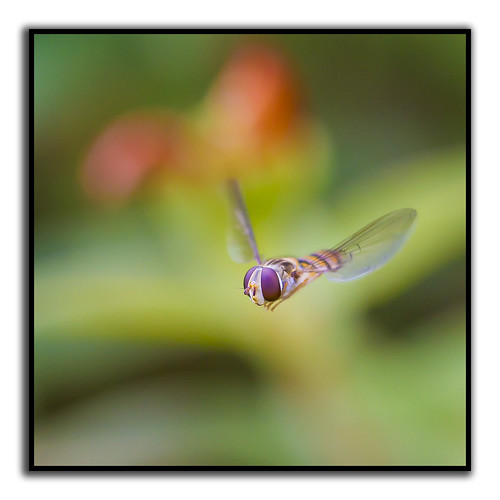 Hoverfly wings akimbo