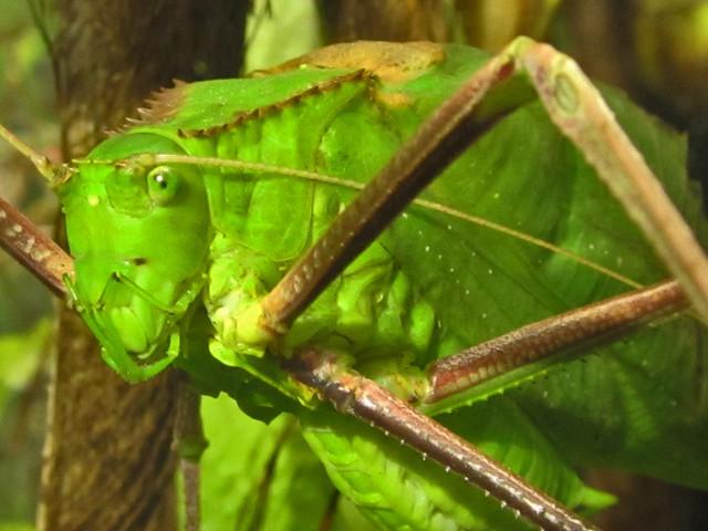 Giant Malaysian Katydid | Flickr - Photo Sharing!