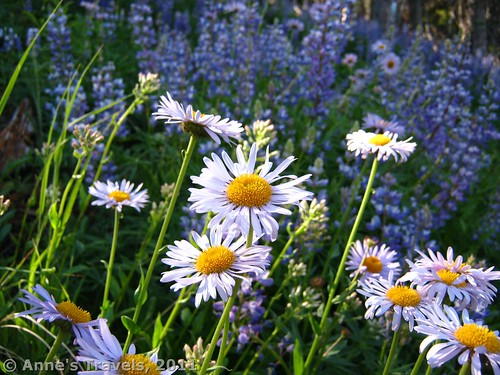 Daisies and Lupines along the Summit Trail, Okanogan-Wenatchee National Forest, Washington