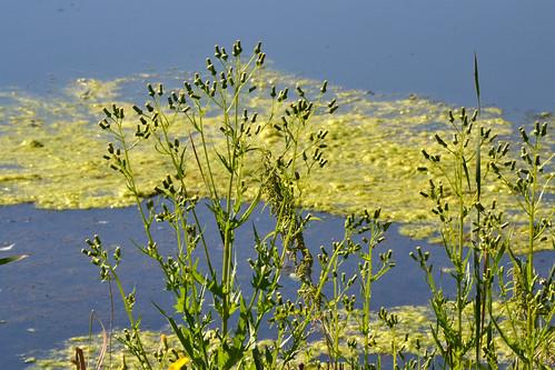 plants usa water minnesota pond blaine