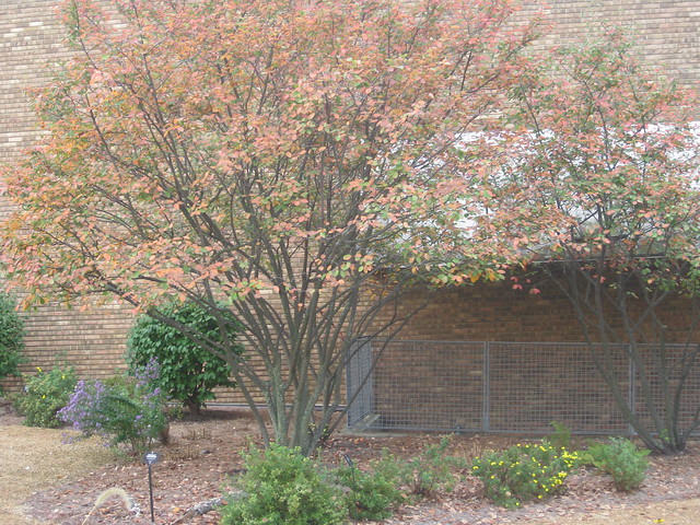 Header of Allegheny Serviceberry