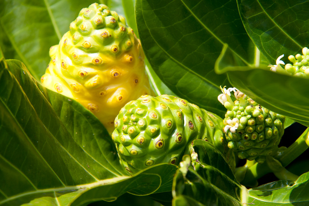 Noni Juice And Cancer