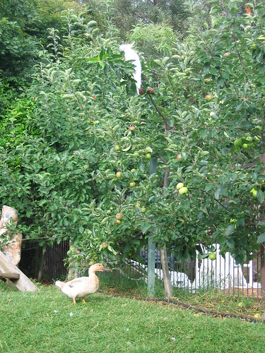 cockatoo in my apple trees - shoo
