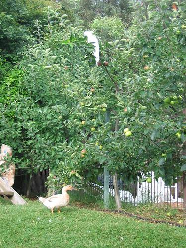 cockatoo in my apple trees - shoo