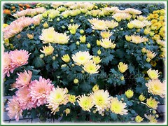 Chrysanthemum hybrids (Mums) at a garden centre