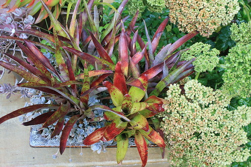 Looking down on colorful bromeliads in pot