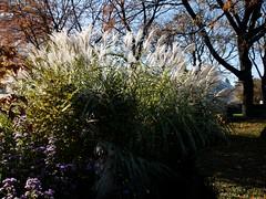 日, 2010-11-07 15:53 - New York Botanical Garden (Bronx) ブロンクスの NY植物園 ススキ