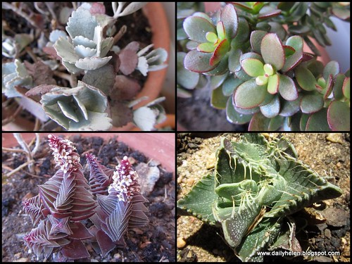 dailyhelen_succulents by dailyhelen