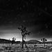 Joshua Trees by joshuammulligan