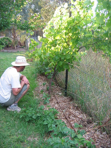 Grape vines at community garden