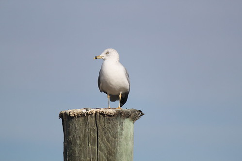 Sea Gull by shoemap