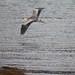 Grey Heron @ Mull # 4853