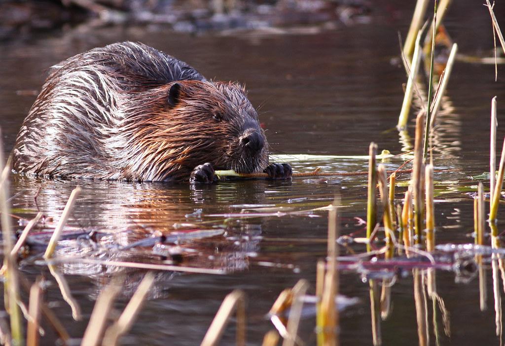Beaver...#28