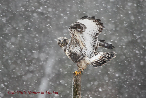Beautiful adult rough-legged hawk in the snow