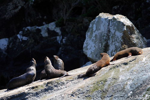 Seals in Milford Sound