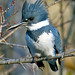 Belted Kingfisher by Brian E Kushner
